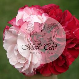 mishynko julia - Moisadua - Rose seedlings - Dnepropetrovsk